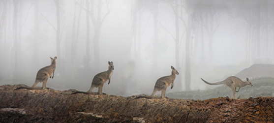 A Grey Kangaroo in a fog