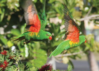 Scaly Lorikeets Flying