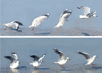 Silver Gull taking flight